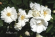 Opalia (Flower Carpet White)