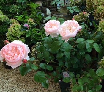 http://filroses.com/newsletter/2015-09-conseils-entretien-rosiers-automne/images/Rose-Automne-2.png