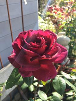 Heart's Delight Rose